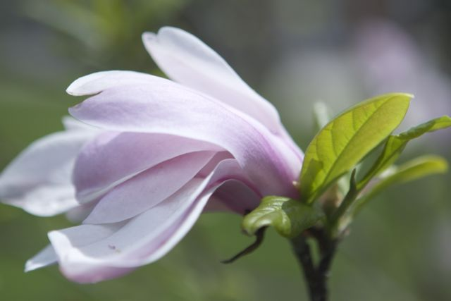 magnolia flower