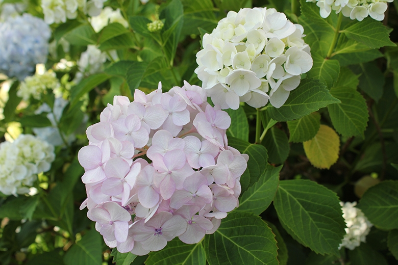 The hydrangeas in my garden this morning.