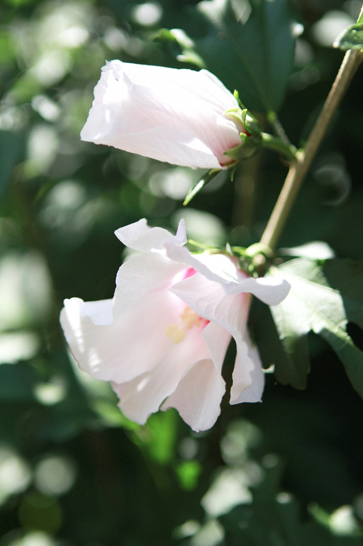 Vision 118.2 rose of sharon