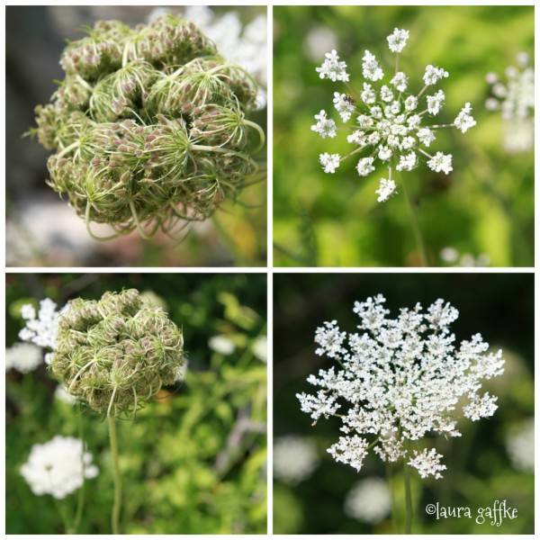 queen anne's lace collage