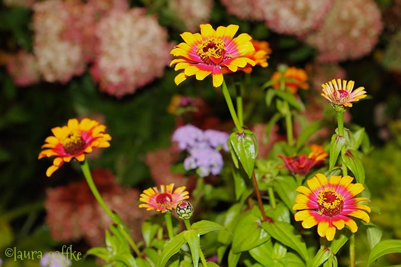 Last of my sassy zinnias. boo hoo :(